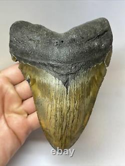 Megalodon Shark Tooth 6.30 Beautiful Natural Fossil No Restoration 7686