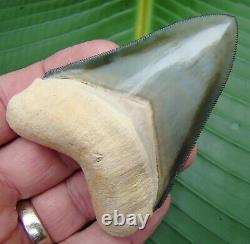 Megalodon Shark Tooth BONE VALLEY XL 3 & 3/8 in. THE ELUSIVE GREEN BV MEG