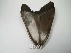 Megalodon Shark Tooth Fossil, 4.10, No Restoration or repair, Giant tooth