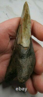 Megalodon Shark Tooth Fossil, 4 1/16, Unusaul Shape, No Restoration or repair