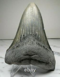 Megalodon Shark Tooth Fossil, 5 1/16 inches! No Restoration or repair