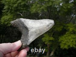 Megalodon Shark Tooth Fossil after Dinosaur SIZE 4 & 10/16 115 mm