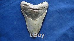 Megalodon Shark Tooth Fossil after Dinosaur Teeth 5 & 2/16 130mm Monster