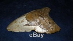Megalodon Shark Tooth Fossil after Dinosaur Teeth 5 & 8/16 135mm Monster
