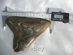 Megalodon Shark Tooth Fossil after Dinosaur Teeth 6.127 155mm Natural #1