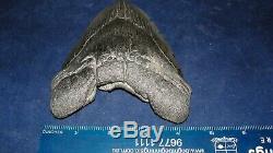 Megalodon Shark Tooth Fossil after Dinosaur Teeth 6 135mm Natural