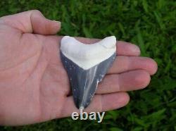 Megalodon Shark Tooth Fossil after Dinosaur Teeth Bone Valley Blue