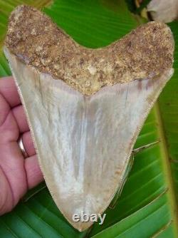 Megalodon Shark Tooth MUSEUM QUALITY 5 & 13/16 in. INDONESIAN NO RESTO