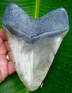 Megalodon Shark Tooth OVER 5 & 1/2 in. REAL FOSSIL SHARKS TEETH NO RESTO