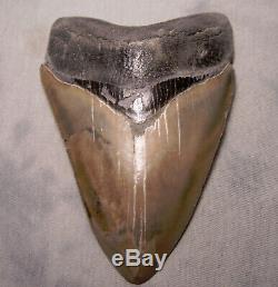Megalodon Shark Tooth Sharp 4 13/16 REAL Fossil Sharks Teeth NO RESTORATIONS