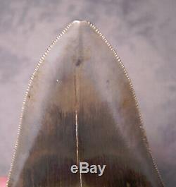 Megalodon Shark Tooth -Sharp 4 5/16 REAL Fossil Sharks Teeth NO RESTORATIONS