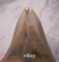 Megalodon Shark Tooth -Sharp 4 7/8 REAL Fossil Sharks Teeth NO RESTORATIONS