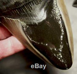 Megalodon Shark Tooth Sharp 5 1/16 REAL Fossil Sharks Teeth Diamond Polished