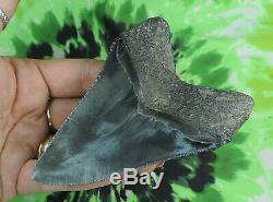 Megalodon Sharks Tooth 4 7/16'' inch NO RESTORATIONS fossil sharks teeth tooth