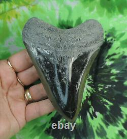 Megalodon Sharks Tooth 4 7/8 inch POLISHED fossil sharks teeth tooth