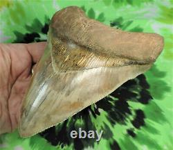 Megalodon Sharks Tooth 5 13/16 inch Indonesian fossil sharks tooth teeth