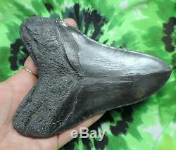 Megalodon Sharks Tooth 5 15/16'' inch NO RESTORATIONS fossil sharks teeth tooth