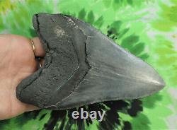 Megalodon Sharks Tooth 5 1/2'' inch NICE! NO RESTORATIONS fossil sharks teeth