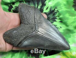 Megalodon Sharks Tooth 5 5/16'' inch NO RESTORATIONS fossil sharks teeth tooth