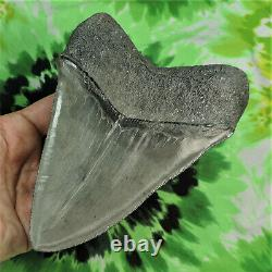 Megalodon Sharks Tooth 5 5/8'' inch BEAUTY! NO RESTORATIONS fossil sharks teeth