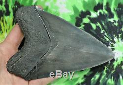 Megalodon Sharks Tooth 5 5/8'' inch HUGE! NO RESTORATIONS fossil sharks teetH