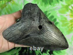 Megalodon Sharks Tooth 5 7/8'' inch NO RESTORATIONS fossil sharks teeth tooth