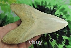 Megalodon Sharks Tooth 6 1/8'' inch CARIBBEAN BEAUTY! Fossil sharks teeth tooth
