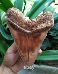 Megalodon Tooth 5.5'' x 4.4 Widest Upper Rose Blue Volcano Eruption No Repairs