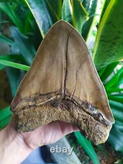 Megalodon Tooth 6.05'' x 5'' Giant Upper 0.4 kilo African Lion in Rage Colours