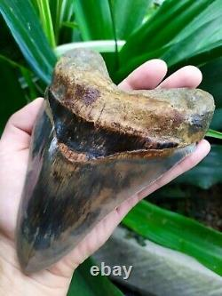 Megalodon Tooth 6''x 4.35'' Huge Upper 335 grams Blue Monster Blood Bourlette