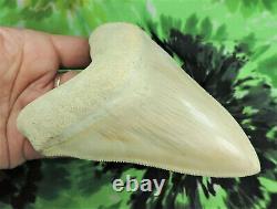 Megalodon shark tooth 5.1'' inch CARIBBEAN BEAUTY! Fossil sharks teeth tooth