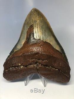 Monster 6.15 Huge Megalodon Fossil Shark Tooth 5 Wide Rare 3046