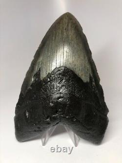 Monster 6.19 Amazing Megalodon Shark Tooth Fossil Rare Big 2687