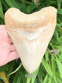Monster 6.3 Inch White Megalodon Shark Tooth From Asia No Resto or Repair