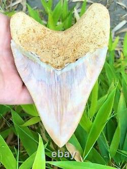 Monster 6 Inch Fire & Ice Megalodon Shark Tooth Museum Quality From Asia
