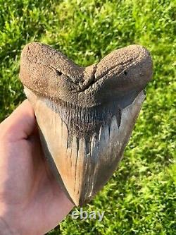 Monster 6 Inch Megalodon Shark Tooth No restoration or repairs Shark Teeth
