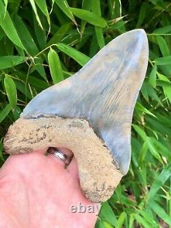 Monster Top 1% Museum Quality Heart Shaped Indonesian Megalodon Shark Tooth