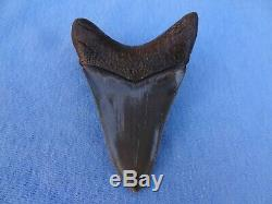 Museum Quality 3.59 Beaufort River, Sc Megalodon Shark Tooth Teeth
