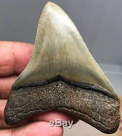 Museum Quality Megalodon Tooth Fossil Shark Teeth FLAWLESS GEM HIGHEST Quality