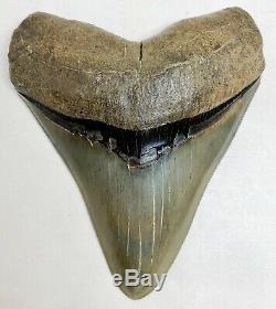 Museum Quality Megalodon Tooth Fossil Shark Teeth Large Gem Upper Anterior
