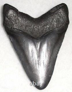 Nice Complete 4 5/16 Fossil MEGALODON Shark Tooth