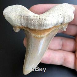 OTODUS SOKOLOVI 3.36 West African Fossil Shark Tooth! Pre Megalodon Teeth