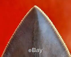 Quality Aurora Megalodon Shark Tooth, Pliocene North Carolina
