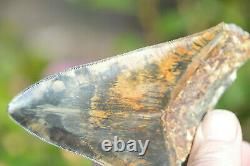 Rare Colour, Stunning 5.3 Black And Brown Megalodon Shark Tooth, Beautiful