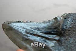 Rare Megalodon Shark Tooth Fossil Sharks Teeth PATHOLOGICALLY DEFORMED