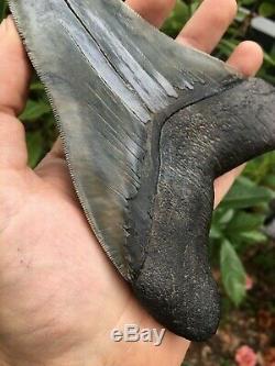 Real Megalodon Shark Tooth 6 & 1/2 Sharply Serrated, Jet Black Bourlette BIG