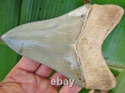 Restored 5 Venice Florida Golden Beach Megalodon Fossil Shark Tooth teeth