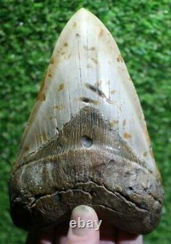 SHARK WEEK SPECIAL Giant 6.25 Extinct Megalodon Tooth With Restoration (R6-30)