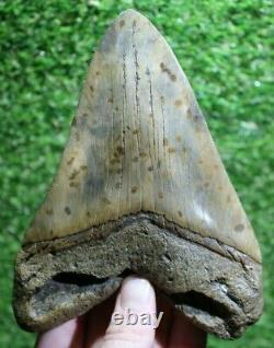 SHARK WEEK SPECIAL Giant 6.44 Extinct Megalodon Tooth With Restoration (R6-6)