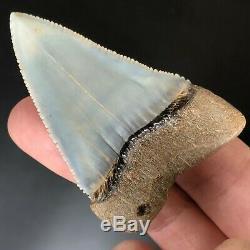 SKY BLUE GREAT WHITE FOSSIL Shark Tooth PERU ATACAMA DESERT Megalodon Era